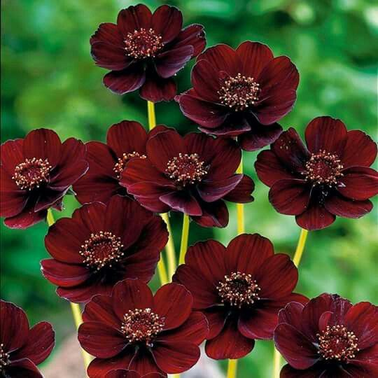 Chocolate Cosmo An Inedible Flower That Smells Like Chocolate Cosmos Flowers Chocolate Cosmos Flower Rare Flowers
