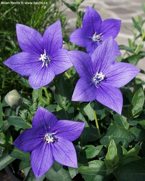 Platycodon Grandiflorus Astra Blue Havlis Cz Balloon Flowers Purple Flowers Beautiful Flowers