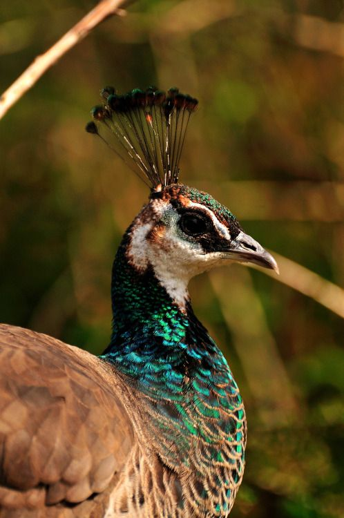 nikonf2s:  Peahen.With no Peacocks in sight, a number of Peahens are left to meander around the pathways & shrubberies in the open spaces around the zoo - this one kept moving in and out of the dappled sunlight.Exmoor Zoo, Devon, England  April 2015.Nikon D300 VR 70-300 f4.5 - 5.6G  All images shot at 220mm f5.3 1/640th sec.