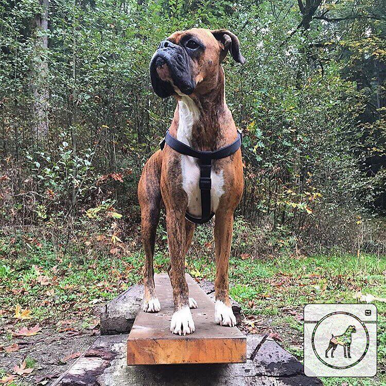 @noah_theboxer_9.21 This statue is so well done it almost looks real! #boxergram #boxer #boxers #boxerpuppy #boxerpuppies #boxerdog #boxersofinstagram #boxerdogs #dog #dogs #puppy #puppylove #puppies #pet #pets #cute #animals #weeklyfluff #boxeraddict #boxerlove by boxergram