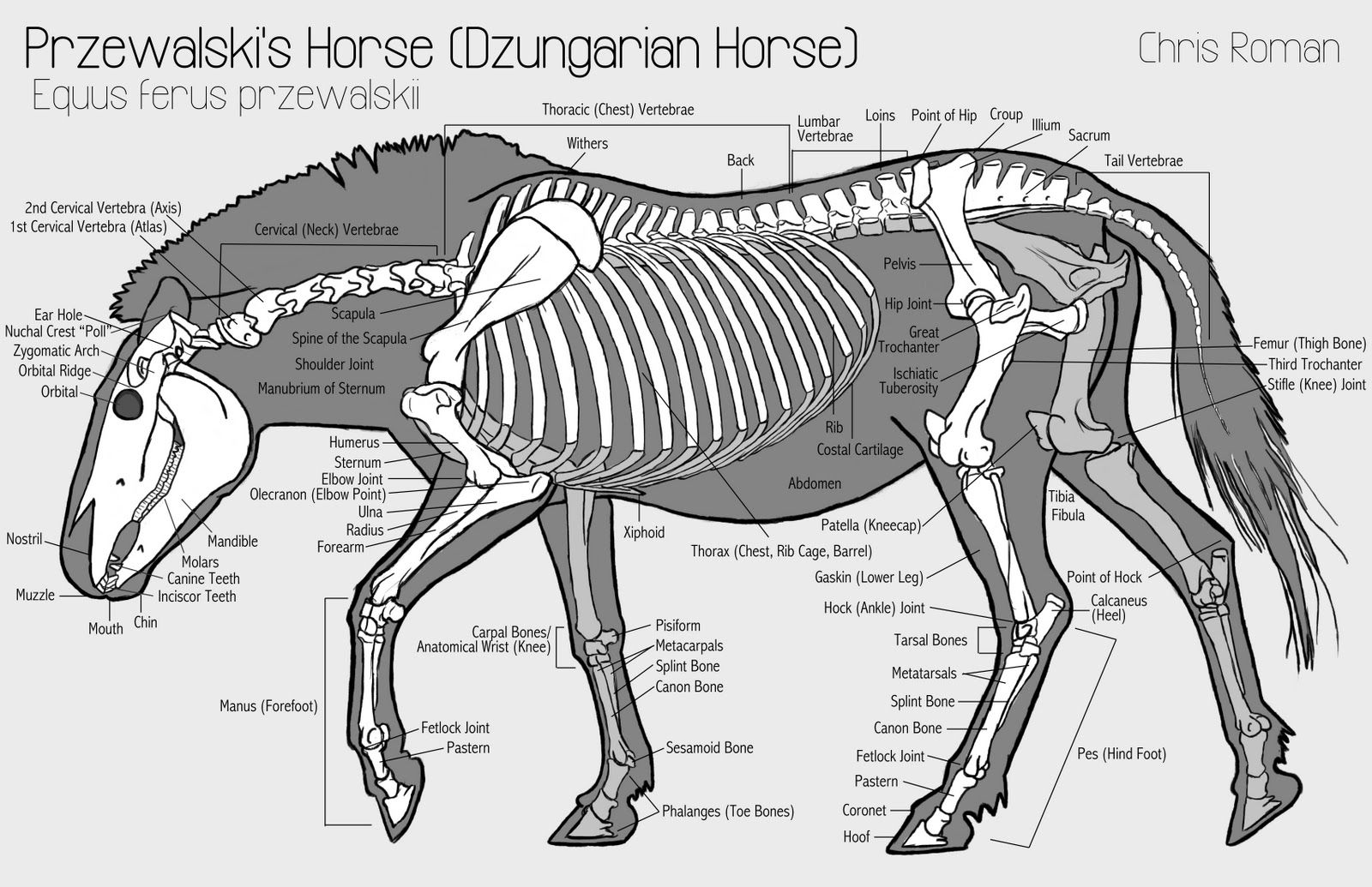 Horse Skeletal Diagram Of The Head - Trusted Wiring Diagram •