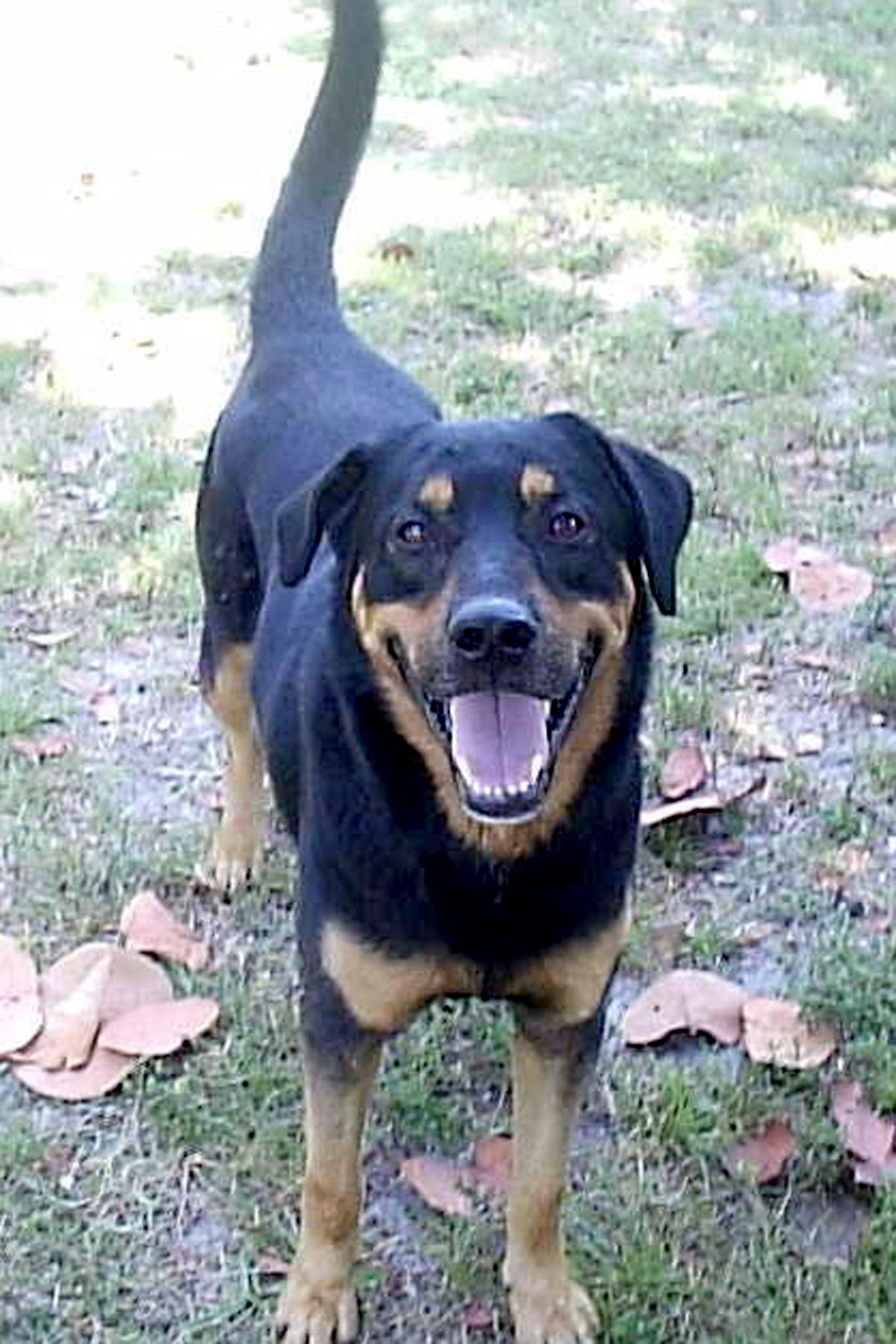 Lab Rottweiler Mix Pet Rescue Of Miami Please Take A Look And