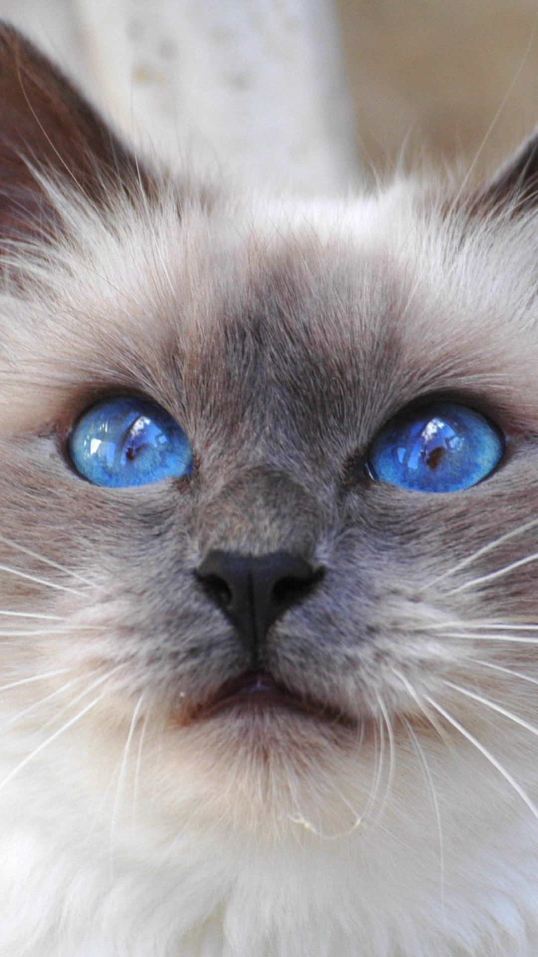 Color cats like - Kitty Cat Face Color Furry Blue Eyes Cute Animal