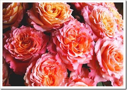 Orange Garden Rose beautiful 'free spirit' roses in shades of orange, coral, peach