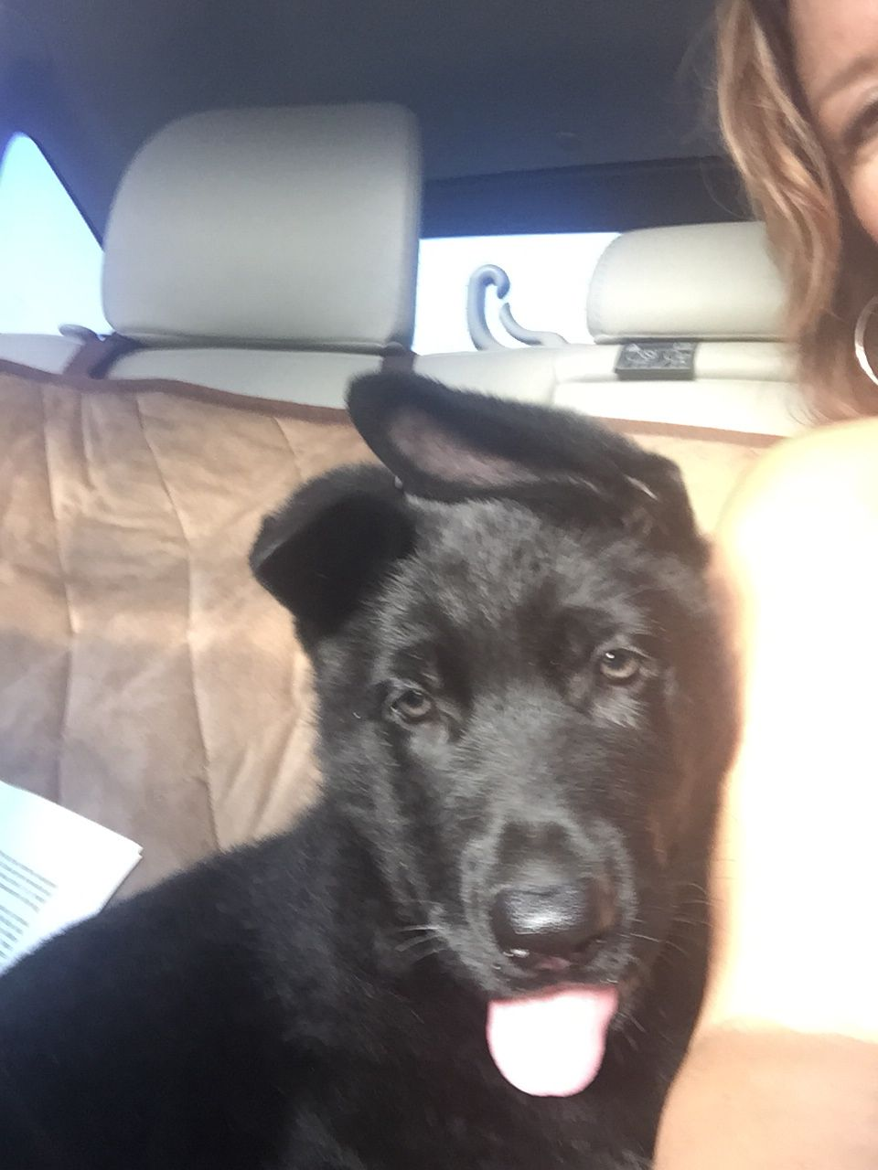 Solid Black German Shepherd Ozzie S First Ride Home Gsd Puppies