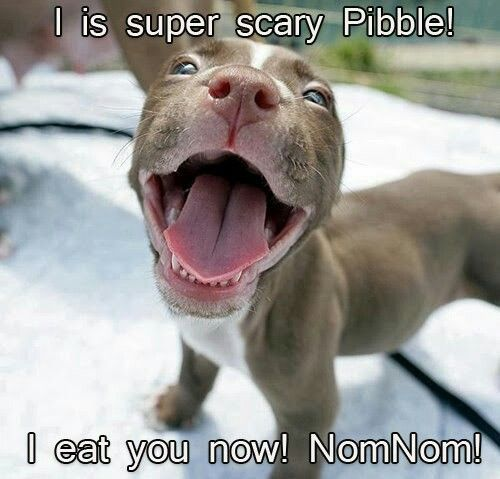 Yep Its Super Scary Ooohhh Cute Animals Pets Pitbull Puppy
