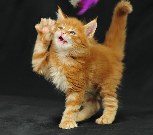 Maine coon catteries in indiana