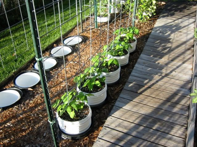 Pole Beans In Plastic Buckets With Twine Trellis Spring 400 x 300
