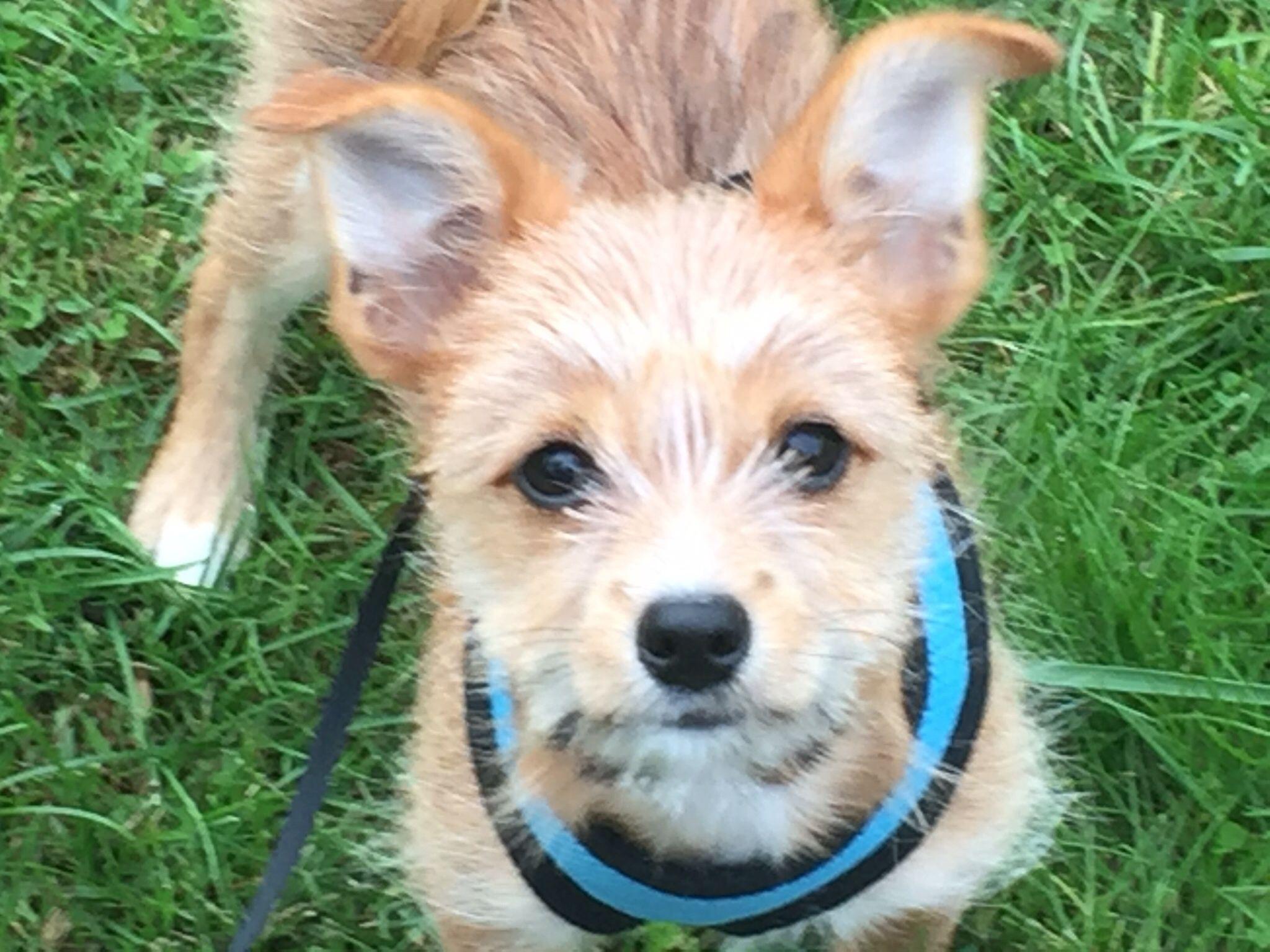 Chewy 15 weeks yorkshire terrier pomeranian mix yorkie