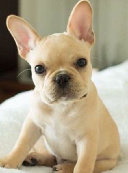 I M Looking For A Boston Terrier Or French Bulldog Asking For