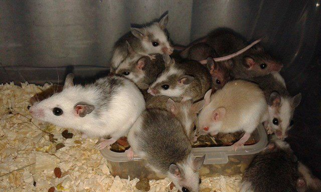 Preloved Multimammate Mice For Sale For Sale In Worksop Animals Mammals Rodents