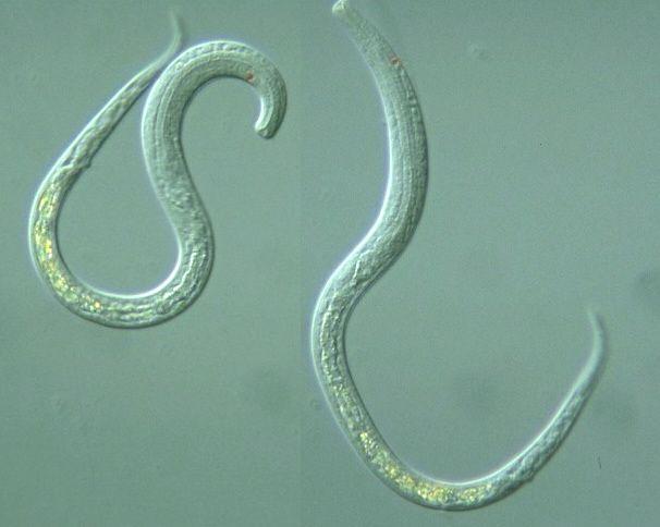 Roundworms Are In The Phylum Of Nematoda Celegans Pinterest