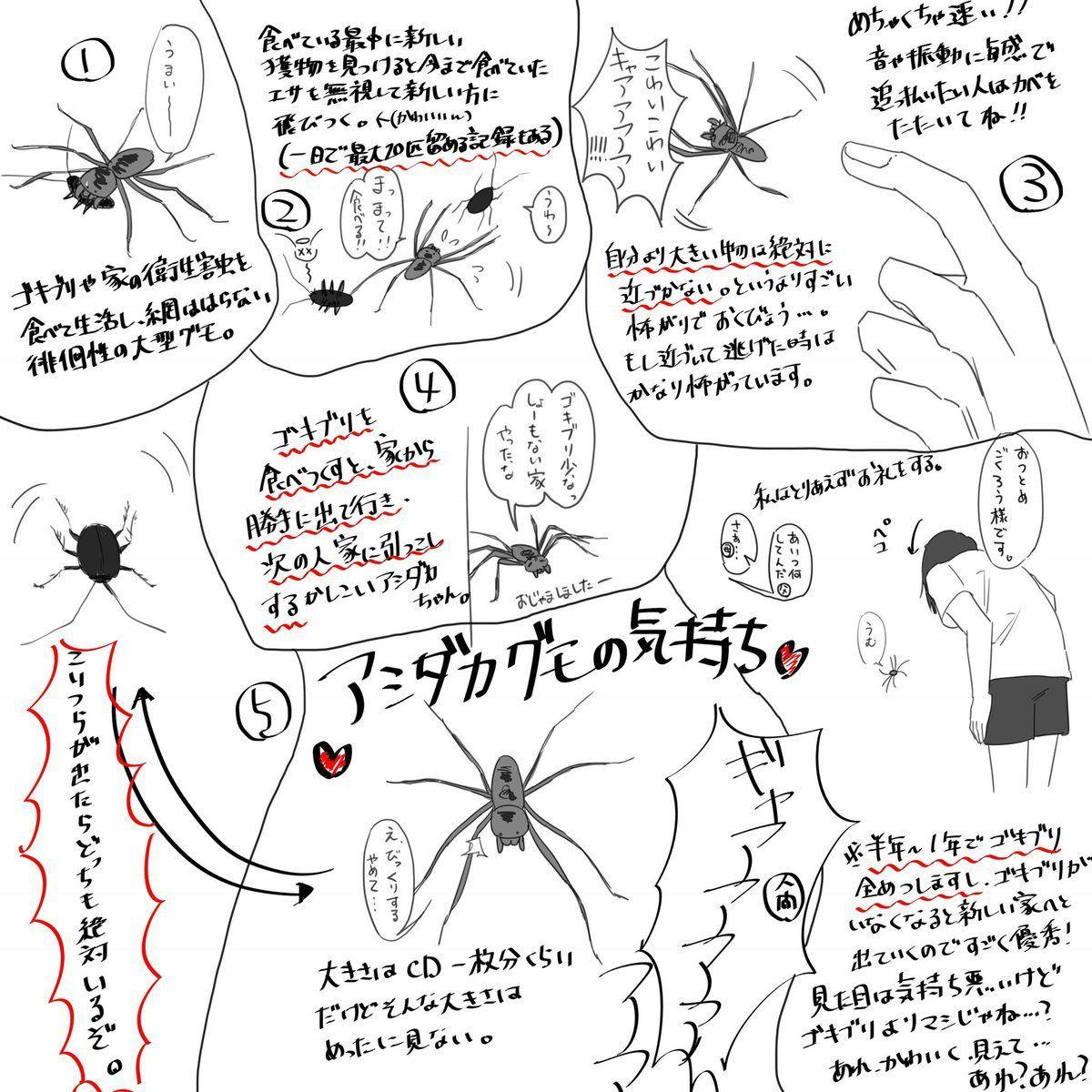 家でたまにみかける巨大蜘蛛 アシダカグモはゴキブリと大きな関係が
