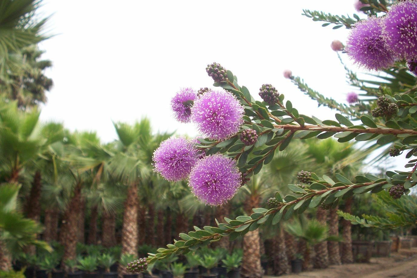 Melaleuca Nesophila In 2020 Melaleuca Xeriscape Pink Pom Poms