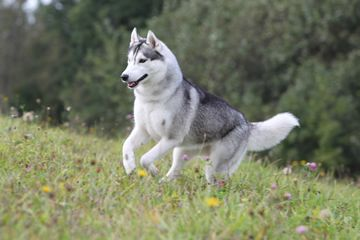 17 Paw Fect Dogs For Runners Dogs Dog Breeds Husky