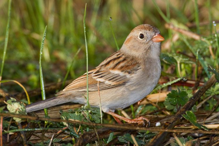 Field Sparrow Newton Grove Nc 2009 Backyard Birds Watching