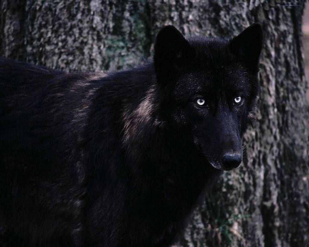 Lupo su sfondo nero