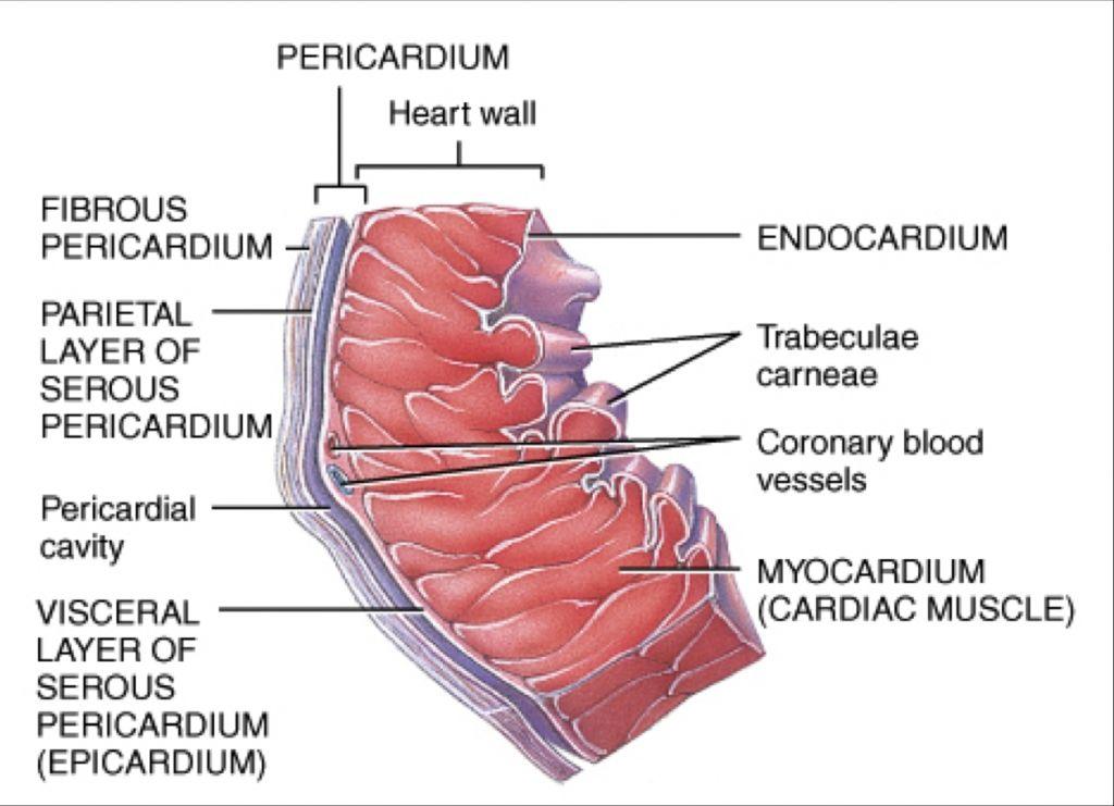 Image result for epicardium cardiology pinterest cardiology image result for epicardium ccuart Choice Image