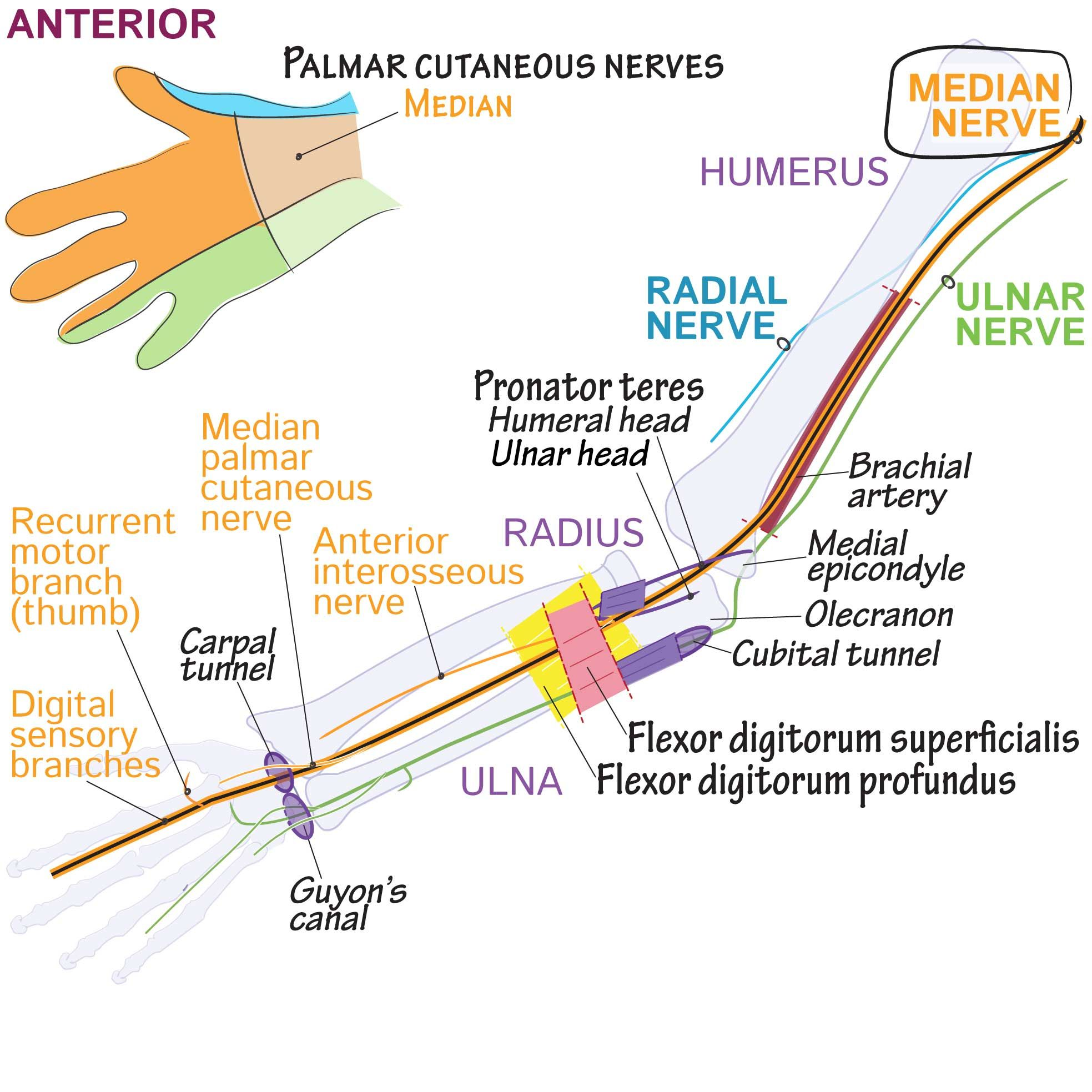 Draw It To Know It Palmar Cutaneous Nerves Medicine Notes Anatomy And Physiology Medical Science