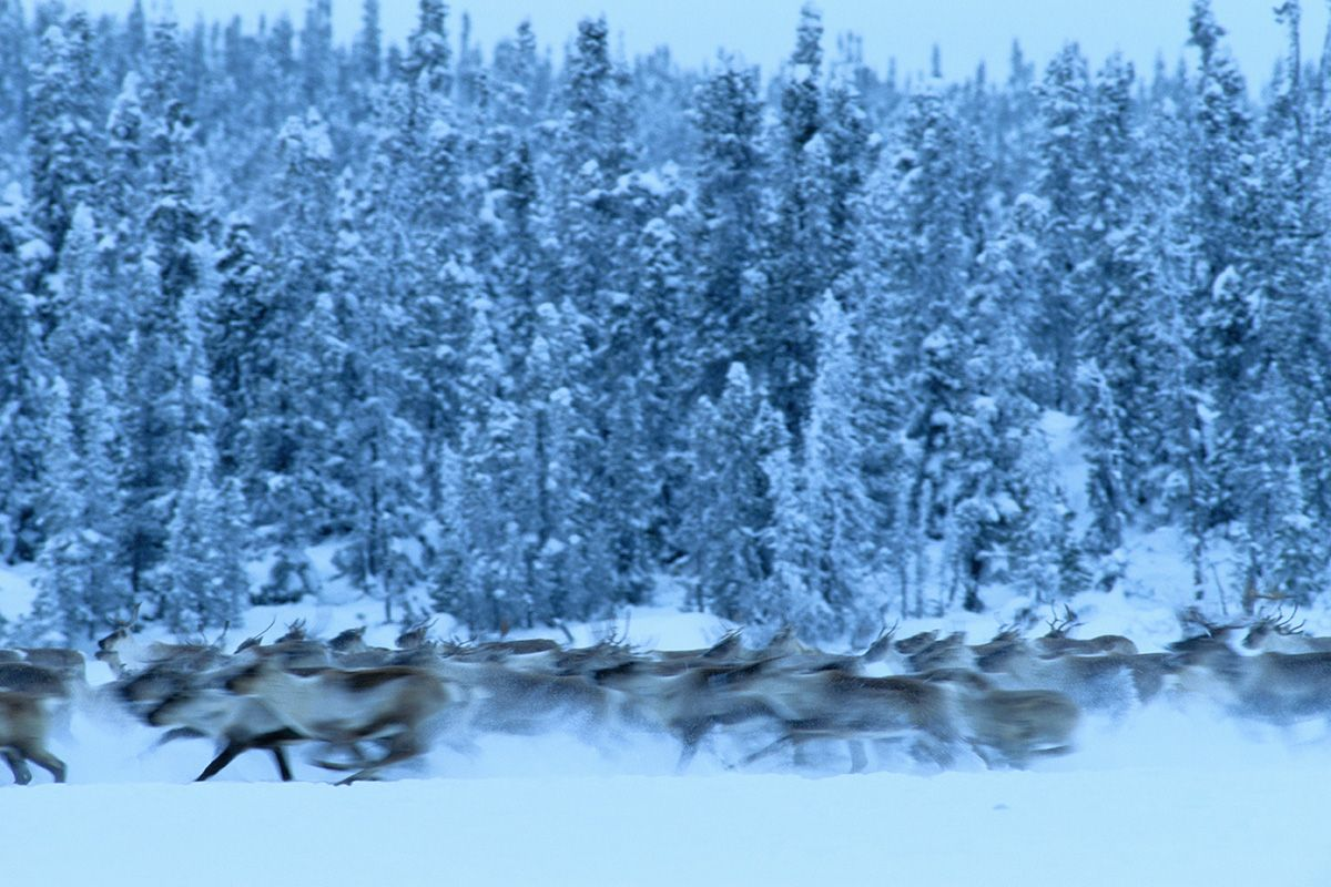 Wolves Or Bears Threatened Caribou Mothers Catch 22 Dilemma Caribou Boreal Forest Taiga Biome