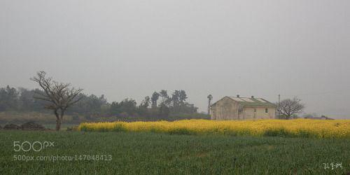 어느 봄날 조용한 아침 by xldesign  field landscape morning nature panorama warehouse misty garlic springtime foggy jeju island 제주 rape