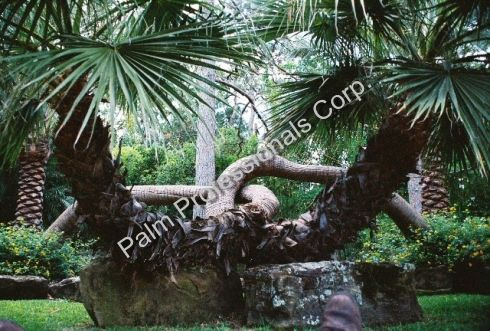 Home Of Houston S Best Palm Tree Nursery Whole Commercial And Residential Trees For In Texas