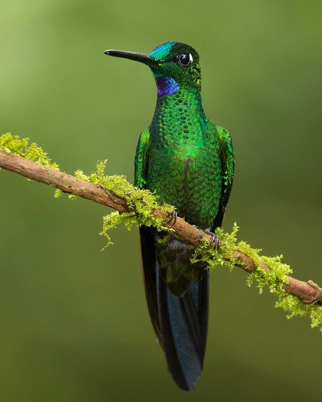 A Green-crowned Brilliant perched on a mossy branch in the cloud forest of Ecuador. Photo: Jess Findlay