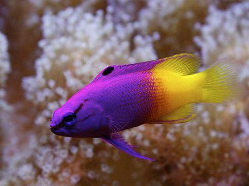 Gramma Loreto Royal Gramma Basslet Marine Fish Cool Fish Salt Water Fish