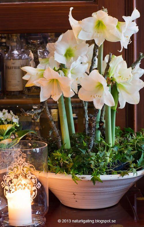 D corer son int rieur d amaryllis plantes bulbes et fleur for Amaryllis de noel