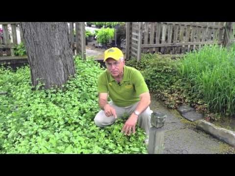Landscaping Ideas - For Dry Shady Areas - Yellow Archangel