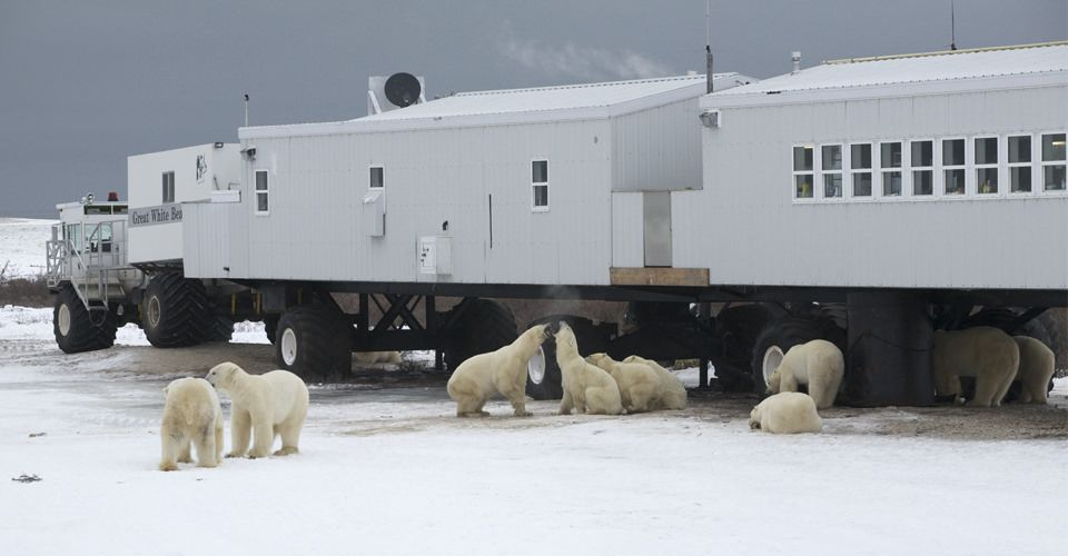 Great White Bear Tundra Lodge Is A Zoo In Mb Plan Your Road Trip To With Roadtrippers