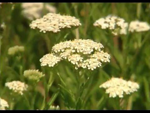 Holunder   Pflanzliche Heilmittel - YouTube
