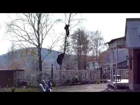 Bear Chases Russian Man Up a Tree ORIGINAL