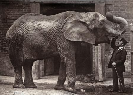 ELEPHANT AND KEEPER, LONDON ZOO, CIRCA 1885    DIXON, HENRY (1820-1892)