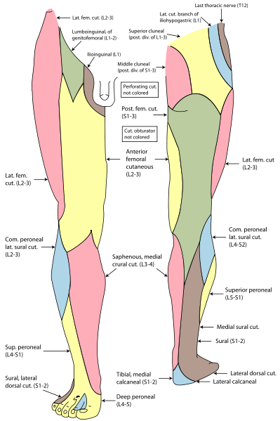 The sural nerve is a sensory nerve in the leg made up of collateral ...