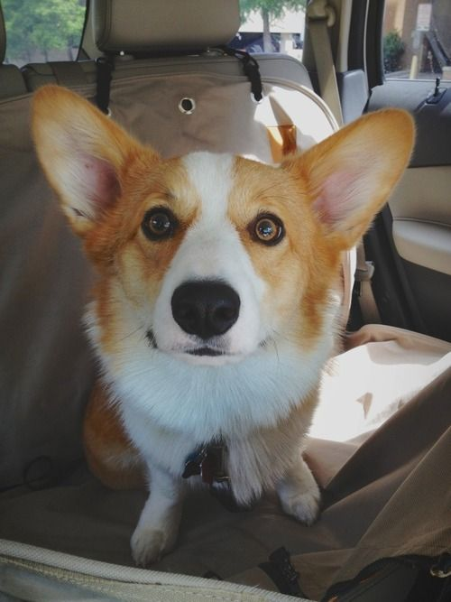 Wilson The Corgi S Birthday Corgi Corgi Face Cute Animals