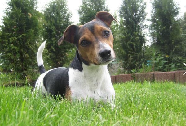 Snoopy Jack Russell Terrier Pawshake Herne Jack Russell Terrier Russell Terrier Terrier