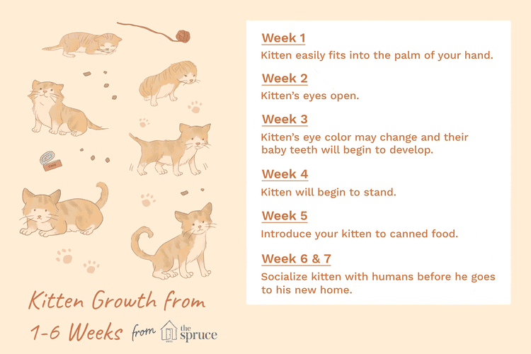 What To Expect In The First 6 Weeks Of Your Kitten S Life Newborn Kittens Kitten Care Feeding Kittens