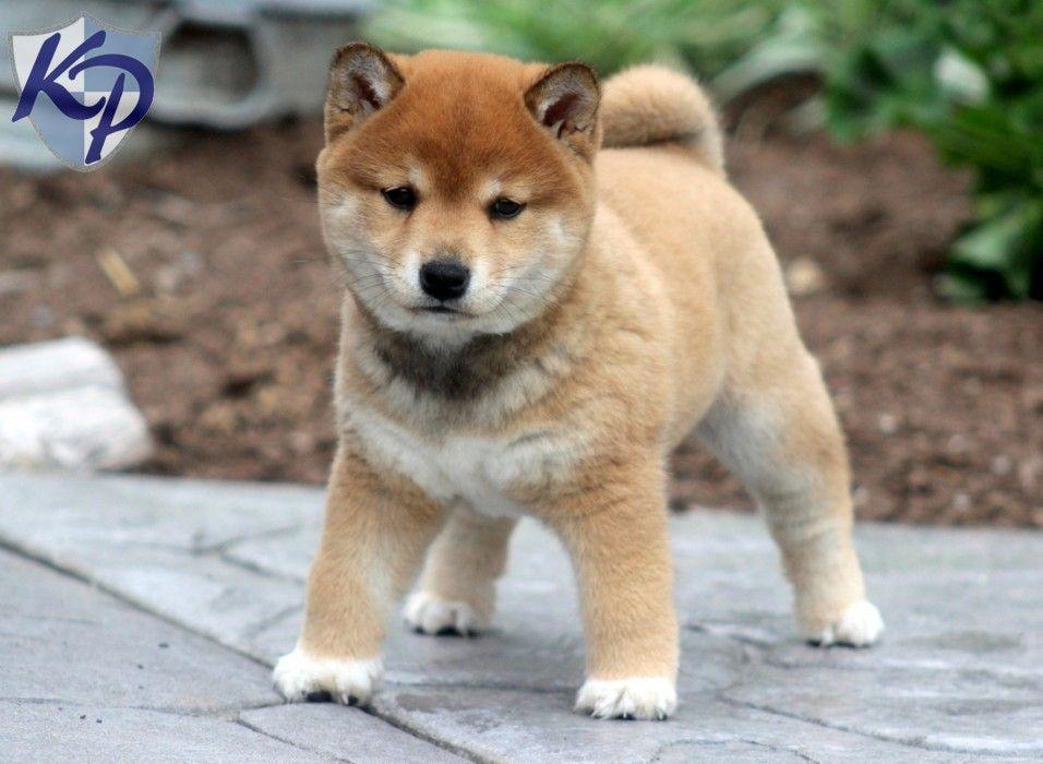 Gunther – Shiba Inu Puppy www.keystonepuppies.com # ...