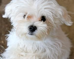 Adopt Jill Must Be Adopted With Jack On Maltese Dogs Pets