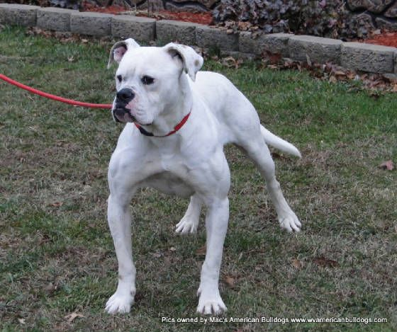 American Bulldog Smoke Dog Arthurs Dog Smoker Dog No Need To Fear