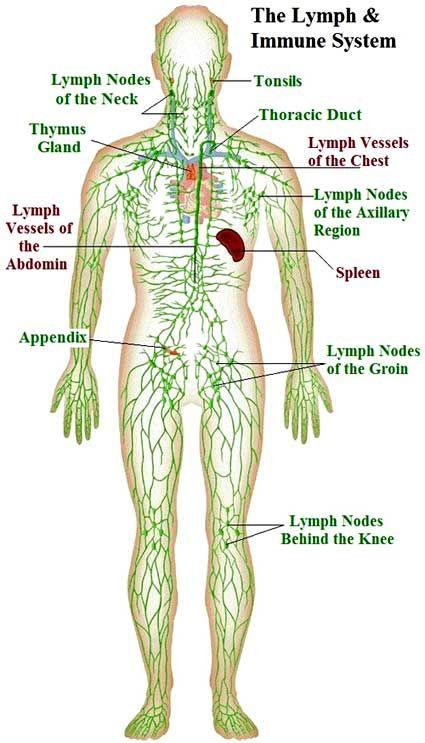 lymphsystem green full body 12-5-14 | dry brushing | Pinterest ...