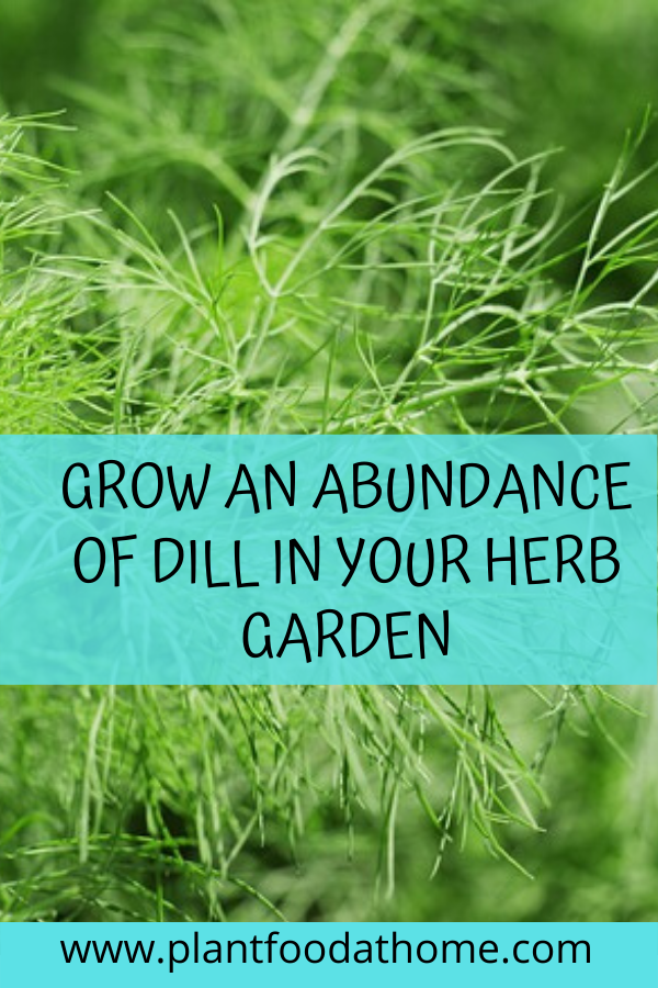 How To Grow An Abundance Of Dill For Your Edible Garden