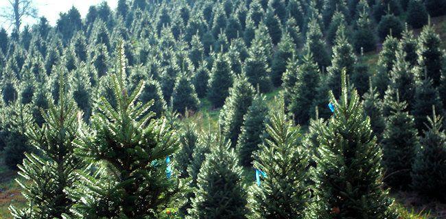 Asheville No. Carolina Christmas Tree Farm (With images ...