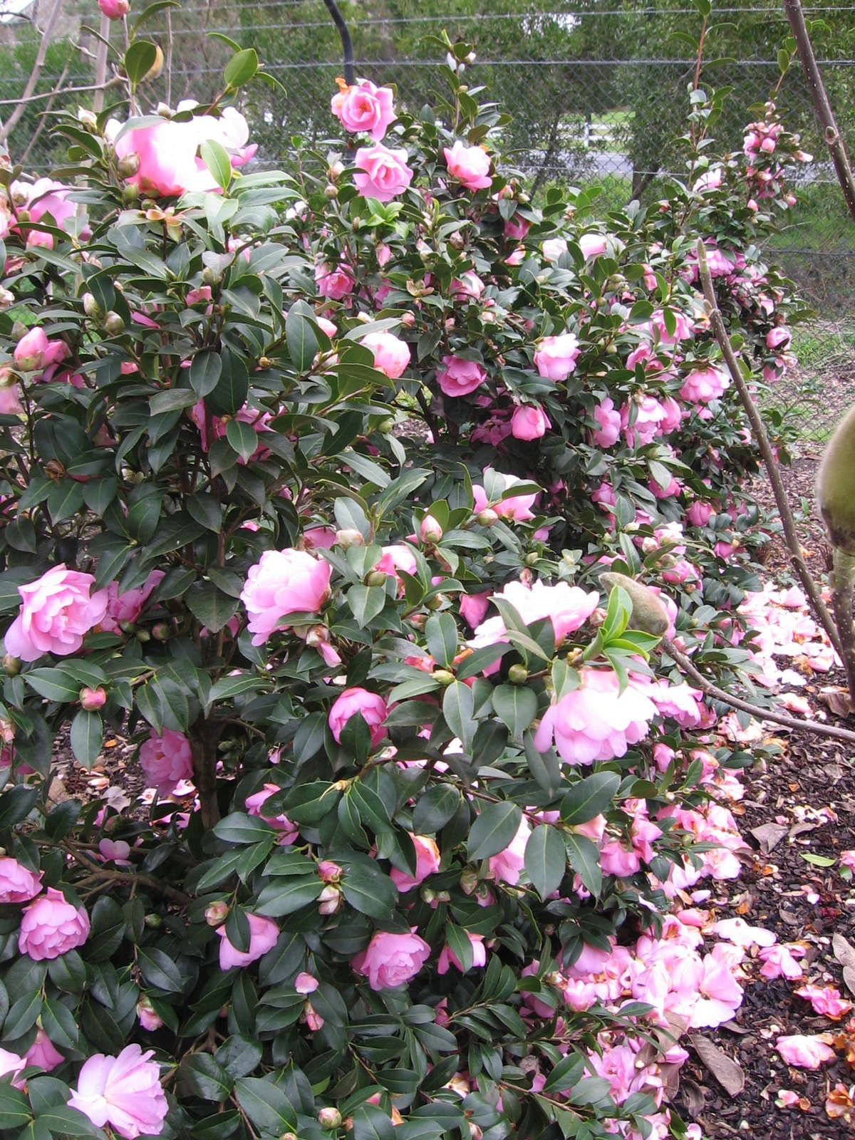 camellia japonica  u0026 39 lady gowrie u0026 39   u2014 warners nurseries