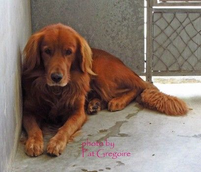 Red Irish Setter Surrendered To Busy Downey Animal Care Rescue