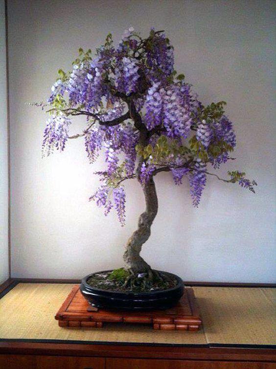 bonsai wisteria bonsai bonsai bonsai plants. Black Bedroom Furniture Sets. Home Design Ideas
