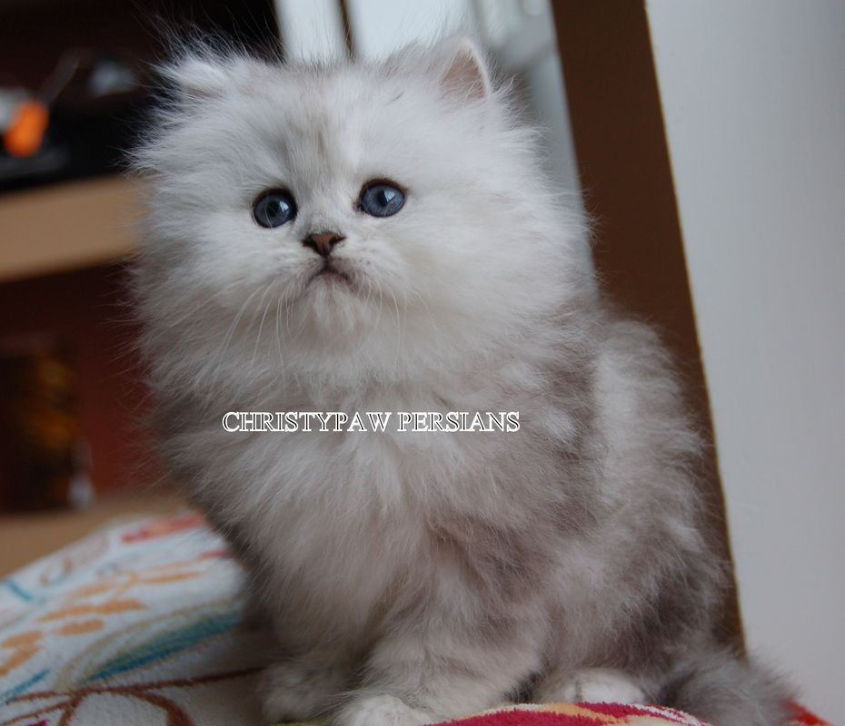 Shaded Silver Persian Kittens For Sale Christypaw Persians