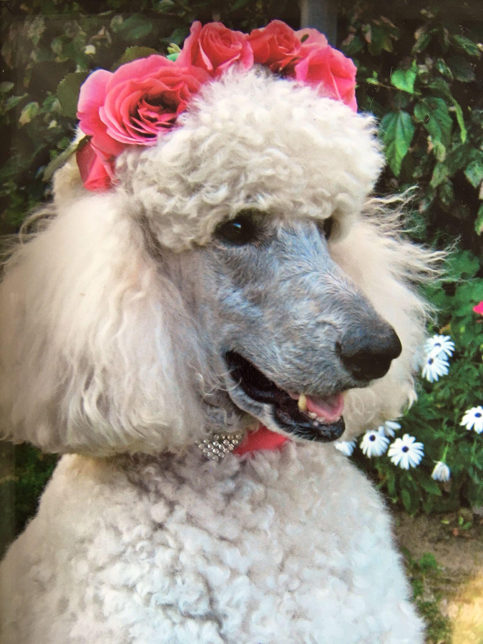 Georgia Angel Face Poodle Dog Poodle Animal Lover