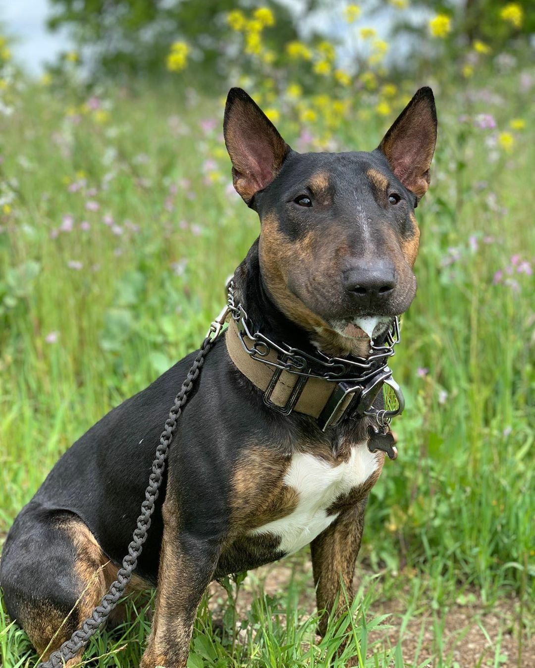 Pin On Pit Bull Bully Staffy Amstaff Bull Terrier